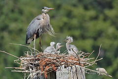 Complainer (PamsWildImages) Tags: heron bird great blue babies nest nature wildlife pamswildimages