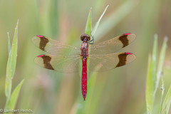 De bandheidelibel (Sympetrum pedemontanum) (Lambert Reinds) Tags: macro bandeddarter makrofotografie canon5dmiii natuur libelle natur bandheidelibel
