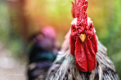 Chicken Run (rudi.verschoren) Tags: outdoors chicken mood art colours sunset exposure canon 70d ngc europa flanders