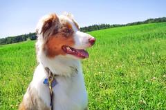A love of green fields (flyjonny) Tags: lumixg85 dmcg85 greenfield fields greenfields herdingdog dog aussie australianshepherd