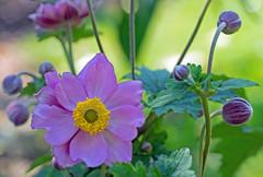a serenade (Simple_Sight) Tags: anemone flower garden pimk green closeup macro bokeh nature plant blossom petals leaves yellow