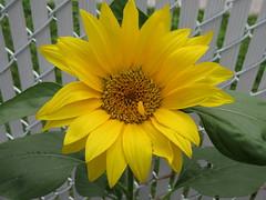 ** Le solitaire ** (Impatience_1 (peu...ou moins présente...)) Tags: tournesol sunflower fleur flower m impatience clôture fence