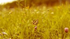 Wiesentraum (_andrea-) Tags: puresglück🍀 freude schwalbenschwanz swallowtail papiliomachaon sonyalpha7mii sonyzeiss zeissplanar wiese insekten nature natur sonnenlicht sommer schmetterling butterfly summerday love