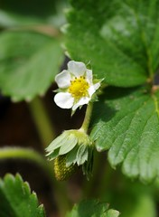 Strawberry (Niki Gunn) Tags: pentax k5 july 2017 90mm macro tamron90mmmacro tamronspaf90mmf28 tamron90mm tamron90mmf28 strawberry plant tamron flower