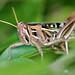 American Grasshopper (Schistocerca americana) (Mary Keim) Tags: taxonomy:binomial=schistocercaamericana centralflorida marykeim lakeapopkawildlifedrive