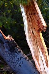 417BrokenTree (sophoryth) Tags: arbol recuerdos quebrados break tree regards broken