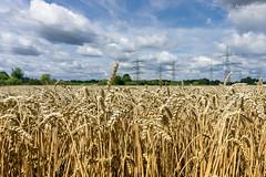 Feld (ab-planepictures) Tags: feld weizen weizenfeld nrw wesseling deutschland germany field