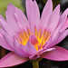 Starburst (Sun~Lover) Tags: illinois summer chicagobotanicgardens flower pink waterlily lily nymphaeaceae floweringplants