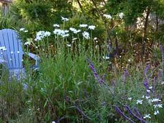 Garden Mid-Summer (Room With A View) Tags: garden daisies iris summer