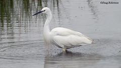 Little Egret (DougRobertson) Tags: radipolelake rspb egret bird birdwatcher wildlife animal nature