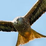 Red Kite - Scotland thumbnail