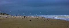 Les vacances en France de Lady Do (12) (dominiquita52) Tags: baiedelasomme beach plage quendplage oiseaux birds seagulls sable sand dunes sky ciel sea mer