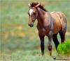 WELCOM LITTLE WILD ONE (Aspenbreeze) Tags: wildhorses wildcolt colt wildlife coloradowildlife horse wildmustangcolt mustang nature equine rural country bevzuerlein aspenbreeze moonandbackphotography