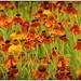 170723-1 (sz227) Tags: sonnenbraut blüte blume blumen blüten flowers sz227 zackl sony sonyslt58 botanischergarten botanischergartenrostock