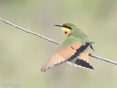Little Bee-eater - Merops pusillus (rosebudl1959) Tags: 2015 botswana littlebeeeater khwai