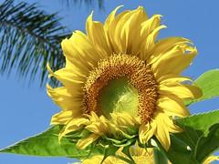 Deja-vu Sunflower (Bennilover) Tags: sunflower sunflowers dejavu neighborhood palms sunshine summer bright yellow wow