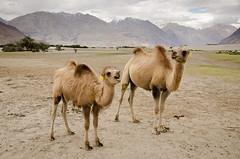 Bactrian Camels (surajgarg2k) Tags: india jk ladakh landscape nubra travel valley bactrian camels