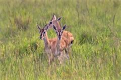 Safety in Threes (The Spirit of the World) Tags: thomsonsgazelles antelope small vulnerable grasses greenseason plains savannah themara masaimara kenya afirca eastafrica safari gamedrive nationalpark gamereserve wildlife nature