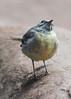 Grey Wagtail - Juvenile (muppet1970) Tags: greywagtail wagtail deformed injured bird nature wildlife juvenile
