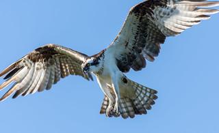 Osprey in final landing approach