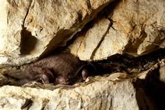 Рукокрилі розташовуються на стелях підземель і печер, і часом їх важко виявити. Часто вони забиваються в щілини.