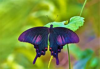 Papilio bianor thrasymedes