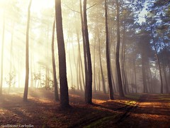 Morning scene (Explore) (Guillermo Carballa) Tags: morning fog mist forest woods trees pines light sun sunrise colors carballa lx5