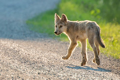 Wolf pup (davezimmerman906) Tags: wild wolves canine ridingmountainpark cub pup grey gray timber wolf