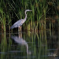 "Stately Blue Heron (dcstep) Tags: egret snowyegret englewood colorado unitedstates us n7a0162dxo mud cattails canon5dmkiv ef500mmf4lisii ef20xtciii allrightsreserved copyright2017davidcstephens dxoopticspro114 ""cherry creek state park"" cottonwoodcreek pond reflection mirror"
