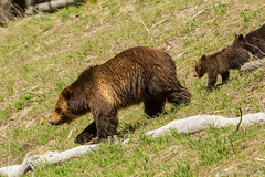 Down hill racers (ChicagoBob46) Tags: grizz grizzly grizzlybear bear cub cubs coy cuboftheyear yellowstonenationalpark yellowstone nature wildlife coth5 sunrays5