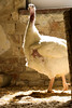 IMG_9624.jpg (land_der_tiere) Tags: land der tiere vegan veganismus veganism lebenshof animal sanctuary tierrechte tierschutz rights freiheit freedom liberation pute puten puter truthahn truthenne wilder truthuhn hahn henne hen cock truter trute wildtruthuhn turkey turkeys vogel geflügel gefieder feder bart plumage feathering feathers animals artgerecht tierrecht tierbefreiung tiernothilfe stiftung tierrettung artenschutz mahilda tante lisbeth georg udo franzjosef mika atilla sebastian humpler tier tierschutzzentrum mecklenburgvorpommern banzin vellahn hamburg ludwigslust biosphärenreservat schalsee unversehrt selbstbestimmt unversehrtheit selbstbestimmung