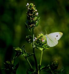 Angel Flight (Portraying Life, LLC) Tags: dbg6 da3004 hd14tc k1 michigan pentax ricoh unitedstates butterfly closecrop handheld nativelighting skipper