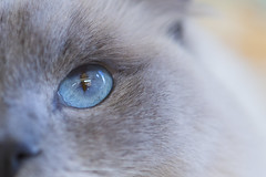 Cats Eye (Chris-Creations) Tags: 201707303784 cat eye macro blue littledoglaughedstories
