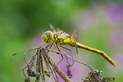 Yellow Dragonfly (John Joslin) Tags: insect dragonfly color bokeh wings blur nature outside outdoors country
