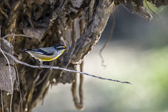 Striated Pardalote (Geoffsnaps) Tags: ilovebirds ilovenature feathers birds animals nature beautiful beautyofnature nikond810 nikon d810 fx nikonnikkor200500mmf56eedafs nikkor 200500mm f56e e ed afs striated pardalote explored