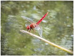 LIBELULA (BLAMANTI) Tags: libelulas insectos rojo colorido color pantanos hermosa bella