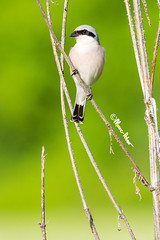 Red Backed Stripes and Lines (marcpeterphotography) Tags: red backed shrike shrikes grauwe klauwier klauwieren bird birds birdphotography birdphotographer wildlife wildlifephotography marcpeterphotography marcpeter marcpeterkooistra bulgaria