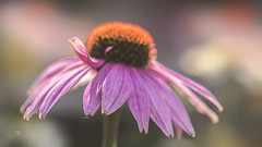 hello sunshe (rockinmonique) Tags: greenland flower blossom bloom petal light bokeh macro pink orange moniquew canon canont6s tamron copyright2017moniquew coneflower echinacea