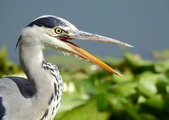 Open wide (PhotoLoonie) Tags: greyheron heron wadingbird bird beak wildlife britishwildlife
