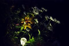 Night Light (Opofolof) Tags: night light nova green yellow white dark bright contrast greenery flower flowers shrub shrubbery lightbulb lightbeam bulb colour color luminous brush garden photoshop photography photo black sun