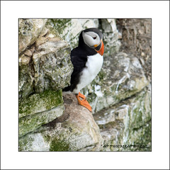 Puffin on a ledge (prendergasttony) Tags: flight cliff bempton rspb bird avian pov dof nikon d7200 wings birdwatching outdoor nature wild roosting nesting yorkshire england young fledging feet webbed nest ledge elements sea seabird chick july summer puffin fratercula arctica