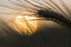 Barley (Theo Crazzolara) Tags: barley hordeum vulgare triticeae gerste getreide cereal grain sun sunset sonne sonnenuntergang field summer autumn