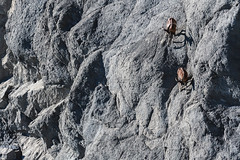 The Mountain Race (rom_guerin) Tags: bighorn nature wild wildlife mountain race animals rocks scree running impressive beauty outdoor