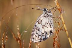 IMG_1981 (izagajewska) Tags: świtak komorów 2017 łąka motyle rowerem 340 mgła wschod wschodslonca zalew w komorowie zalewwkomorowie switaczekkomorowski niemaspania