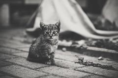 Kitty (MattusB) Tags: cat puppy kitty kitie blackwhite monochrome monochromatic mačka macka 2017 jul july slovakia matus benian sony a6000 sel50f18 50mm f18 lightroom adobe mirrorless