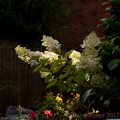 Hyacinth in the evening light (Barry Potter (EdenMedia)) Tags: barrypotter edenmedia nikon d7200 flower hyacinth