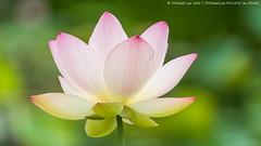 Sacred Lotus (20170715-DSC09122) (Michael.Lee.Pics.NYC) Tags: newyork nybg newyorkbotanicalgarden sacredlotus flower blossom bokeh lilypool aquatic sony a6500 fe70300mmg