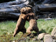 Grizzly bears wrestling beside the shore (Paul Cottis) Tags: grizzly bear brown mammal paulcottis knightinlet greatbearrainforest 26 may 2017