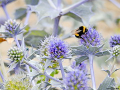 Bumblebee and a leaf beetle on Sea holly (Corine Bliek) Tags: dunes plants insects flowers blue afrodisiacum summer duinen zomer blauw distels
