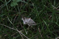 IMG_8473 - Common Angle Moth (Macaria aemulataria) - Zephyr, Ontario, Canada (Wayne W G) Tags: northamerica canada ontario durham uxbridge zephyr taxonomy:kingdom=animalia animalia taxonomy:phylum=arthropoda arthropoda taxonomy:subphylum=hexapoda hexapoda taxonomy:class=insecta insecta taxonomy:subclass=pterygota pterygota taxonomy:order=lepidoptera lepidoptera taxonomy:superfamily=geometroidea geometroidea taxonomy:family=geometridae geometridae taxonomy:subfamily=ennominae ennominae taxonomy:tribe=macariini macariini taxonomy:genus=macaria macaria taxonomy:species=aemulataria taxonomy:binomial=macariaaemulataria macariaaemulataria commonangle taxonomy:common=commonangle inaturalist:observation=7111813